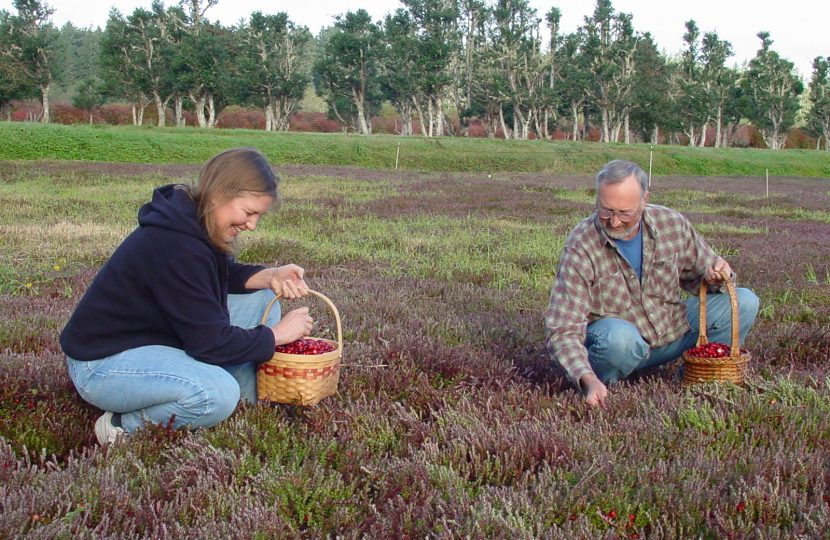 Cranberry Picking