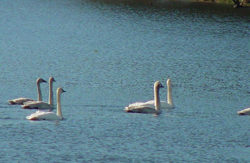 Swans return to Black Lake, Ilwaco